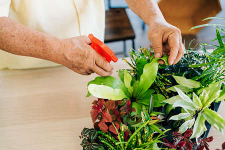 Close up retired senior hands love to take care of the plants by spraying water to plants with foggy in the indoor garden. Enjoy retirement activities. Reklamní fotografie