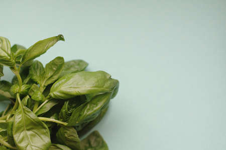 A macro bunch of green fresh basil on the blue background. Healthy food, raw and vegetarian