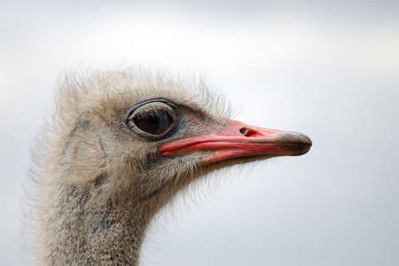 A curious ostrich head close-up view . Gray background. Macro eyes