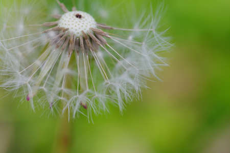 Close-up of ripe dandelion seeds ready to fly 版權商用圖片
