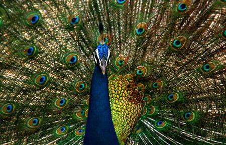 Beautiful colored peacock