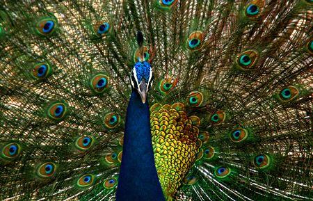 Beautiful colored peacock