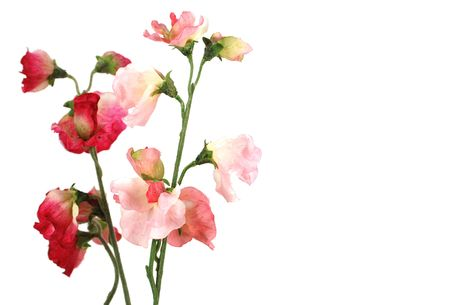 Beautiful poppies in red and pink Stock Photo