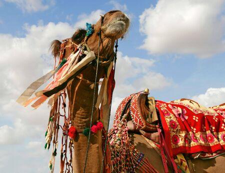 Camel in desert Stock Photo