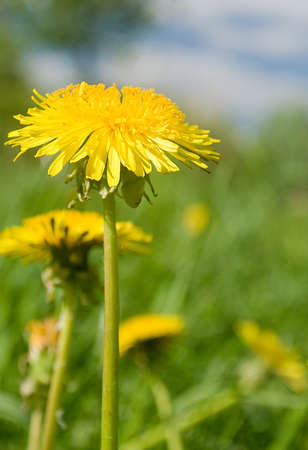 yellow dandelion on meadow in spring Stock Photo - 10392264