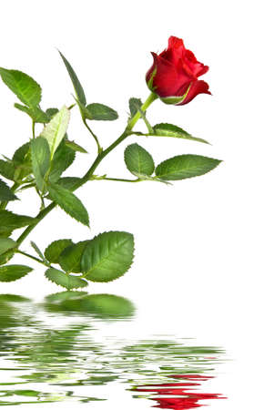 red rose with reflection isolated on white photo