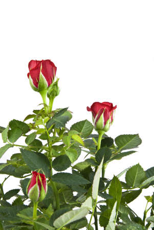 red rose bouquet isolated on white photo