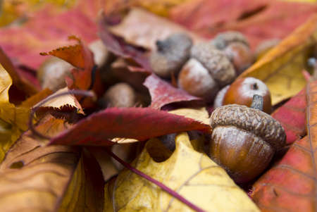 acorns with autumn leaves photo