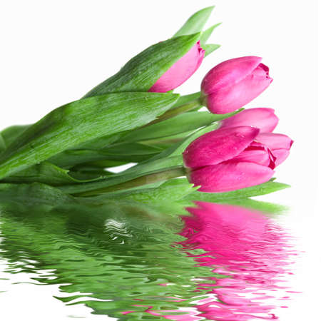 close-up pink tulips with water reflection isolated on white Stock Photo - 4473807