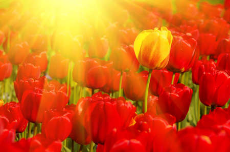 sunny field of tulips photo