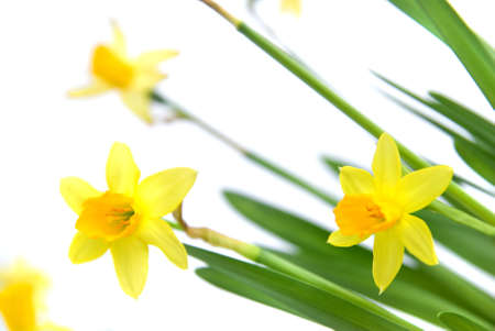 narcissus isolated on white photo