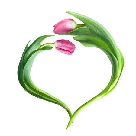heart from purple tulips isolated on white photo
