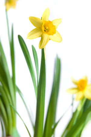 jonquil: narcissus isolated on white Stock Photo