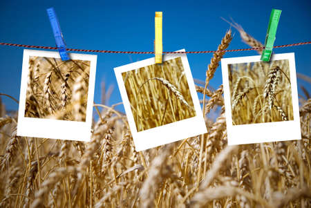 photos of wheat hang on rope with pins against wheat field photo