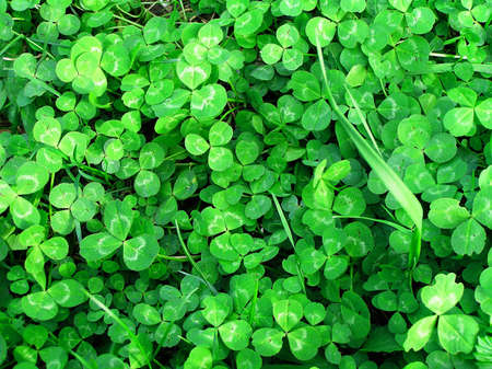 background of green clover Stock Photo - 5225004