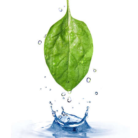 waterdrop: green spinach leaf with water drops and splash  isolated on white Stock Photo