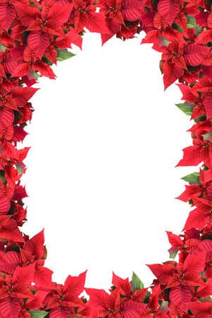 flor de pascua: fotograma de Navidad de cultivaci�n aislados en blanco