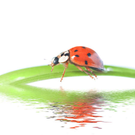 red ladybug on green grass isolated on white Stock Photo - 6119333