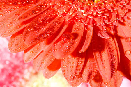 Close up red daisy-gerbera with water drops and shallow focus photo
