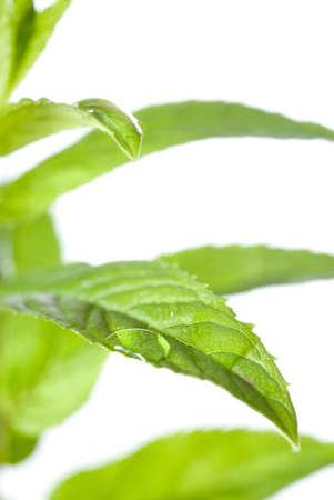 macro photo of green mint isolated on white photo