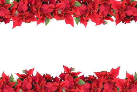 poinsettia: christmas frame from poinsettias isolated on white Stock Photo