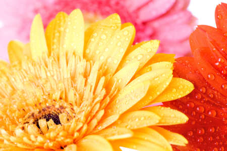 Close up pink daisy-gerbera with water drops photo
