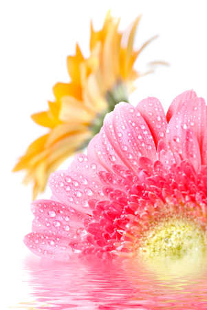 Pink daisy-gerbera with water drops isolated on white photo