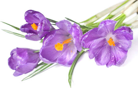 crocus bouquet with water drops isolated on white photo
