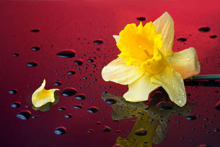 yellow narcissus on red background with water drops photo