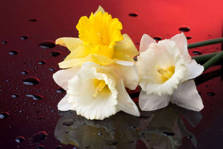 yellow and white  narcissus on red background with water drops photo