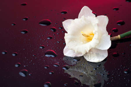 white narcissus on red background with water drops photo