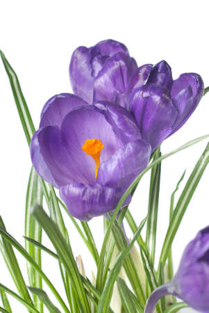 crocus bouquet isolated on white photo