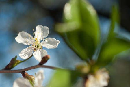 spring blossom of apple tree against blue sky photo