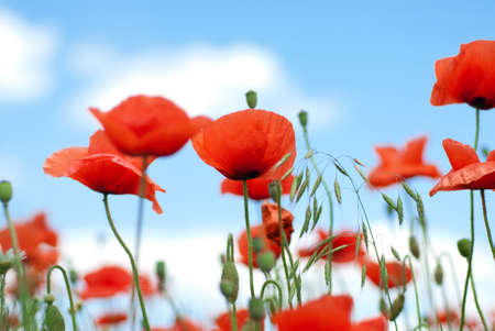 poppy against blue sky photo