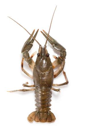 alive crayfish isolated on white photo