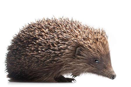 hedgehog isolated on white photo
