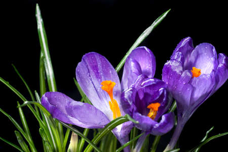 crocus bouquet with water drops isolated on black photo
