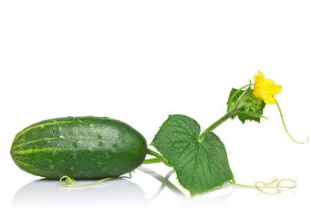 green cucumber with leaves and flower isolated on white Stock Photo - 7802364