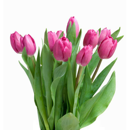 close-up pink tulips isolated on white photo