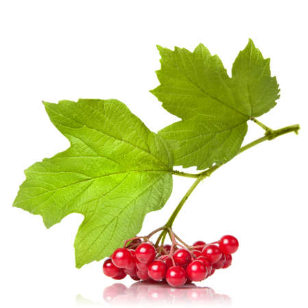 bacca: Berries of red Viburnum with leaves isolated on white