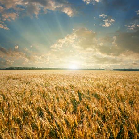 cultivo de trigo: campo de trigo en la puesta de sol  Foto de archivo