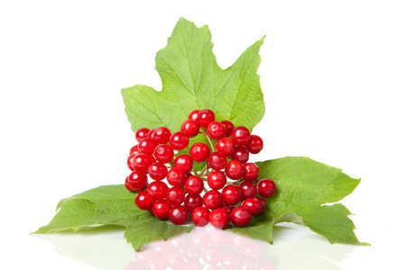 Berries of red Viburnum with leaves isolated on white photo