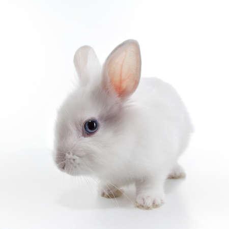 White rabbit isolated on white background photo