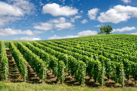 wine road: Vineyard landscape, Montagne de Reims, France