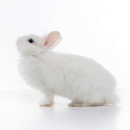 White rabbit isolé sur fond blanc