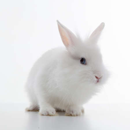 White rabbit isolated on white background photo