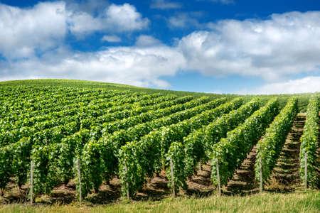 Vineyard: Paisaje del viñedo, Montagne de Reims, Francia Foto de archivo