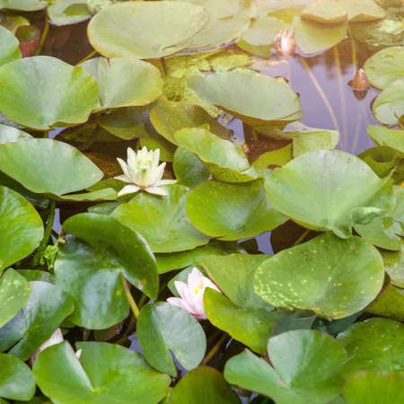 Beautiful white and pink waterlily or lotus flower in pond photo