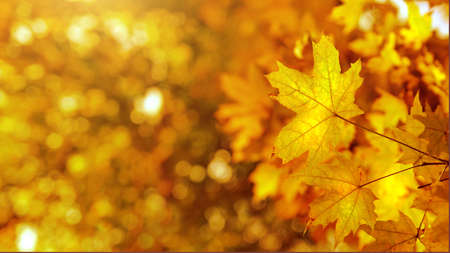 yellows: autumn yellows leaves background. Header for website