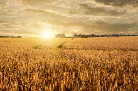 Golden wheat field and road on sunset